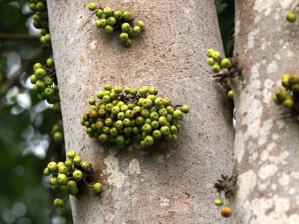 Ficus variegata Bangar Padang Brunei 01.JPG