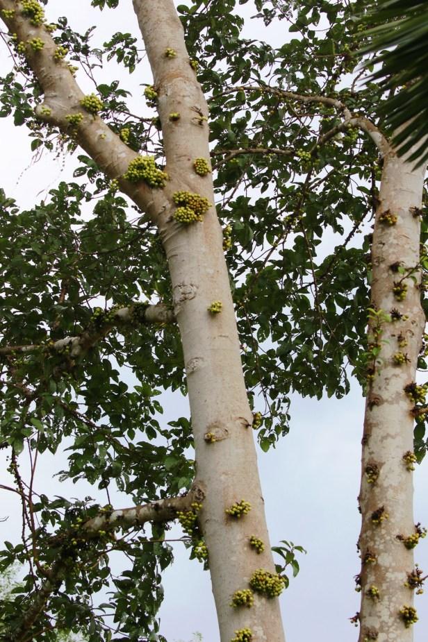 Ficus variegata Bangar Padang Brunei 03.JPG