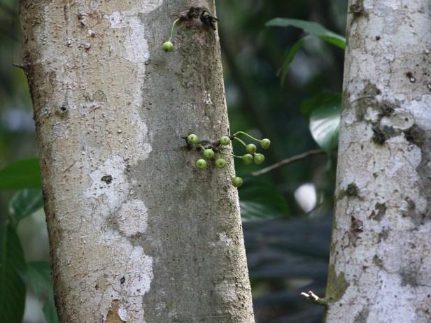 Ficus variegata Semabat Walshe 03.JPG