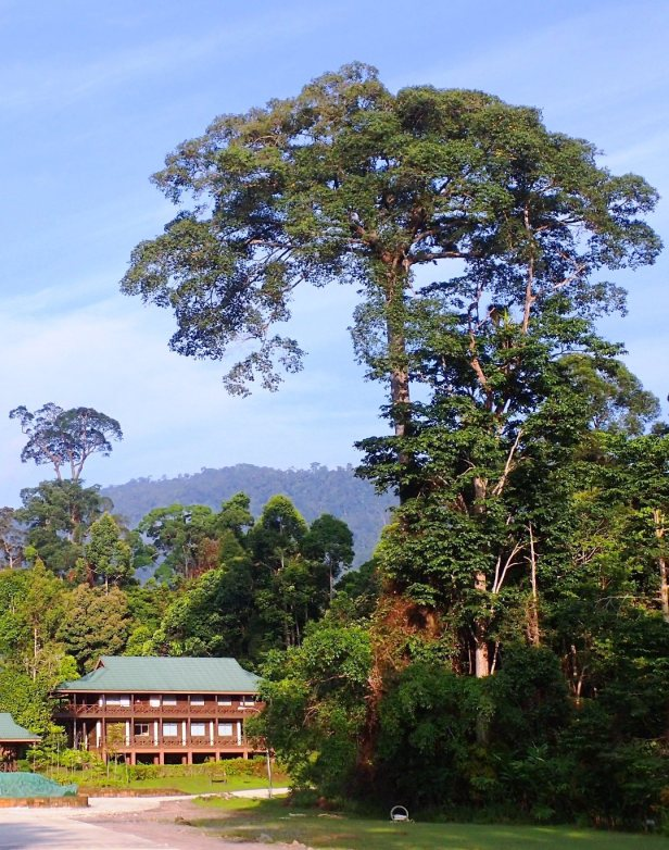 Ficus cucurbitina Maliau Basin Study Centre, 01.JPG