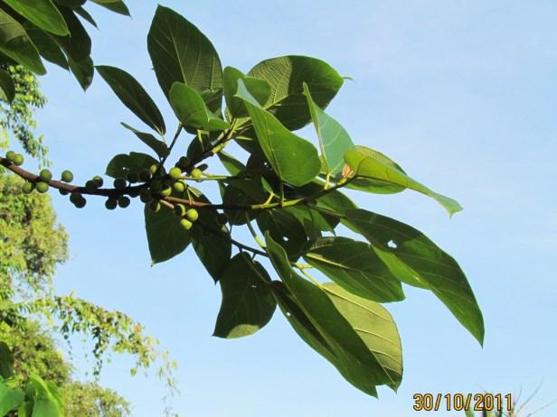 Ficus fulva Ranau 01.JPG