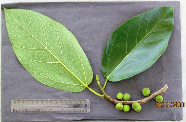 Ficus fulva Ranau 05.JPG