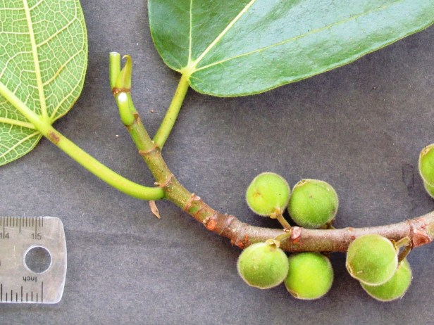 Ficus fulva Ranau 06.JPG