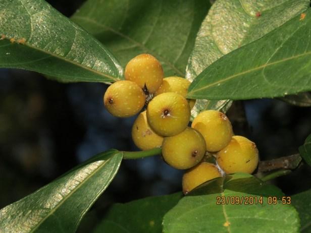 Ficus inaequipetiolata Broad 07.JPG