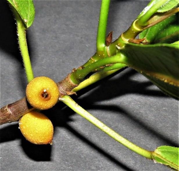 Ficus inaequipetiolata  Leila FR 01 .JPG