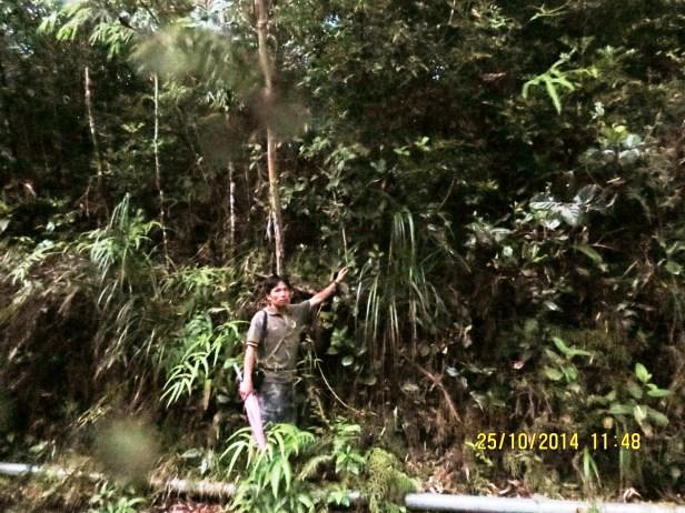 Ficus setiflora 05.JPG