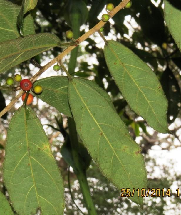 Ficus setiflora Gng Alab 02 .JPG