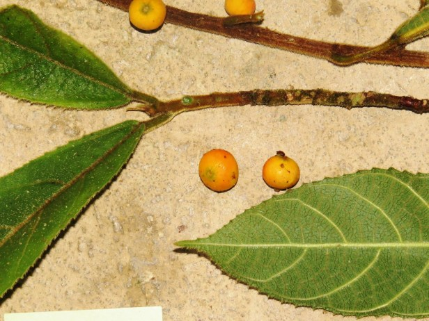 Ficus setiflora Long Pasia 05 .JPG
