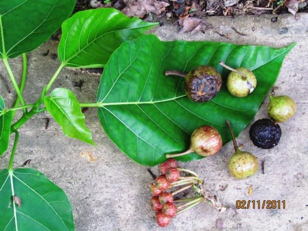 Ficus variegata Nexus Resort  06  .JPG