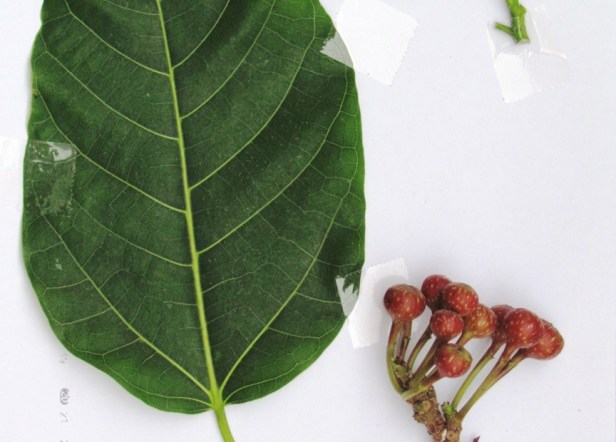 Ficus variegata Nexus Resort  08  .JPG