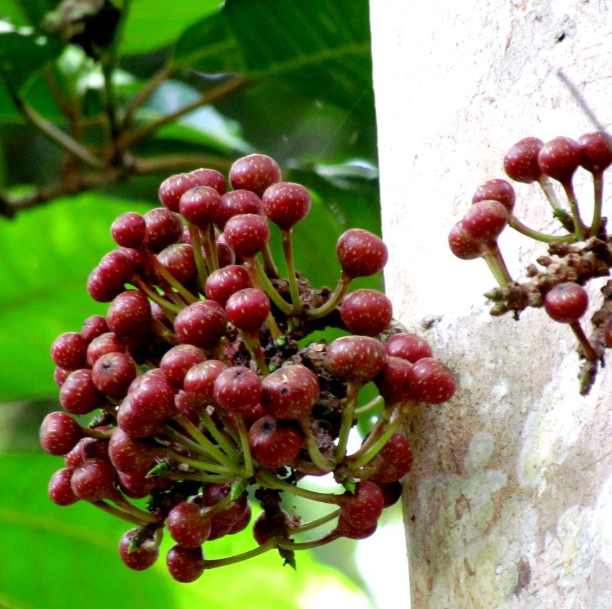 Frunze de dafin pentru varice