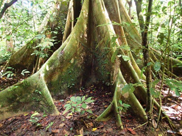 06 Ficus sp. albipila. Nature Trail. Kawag. Dec. 2017. AL (82).JPG
