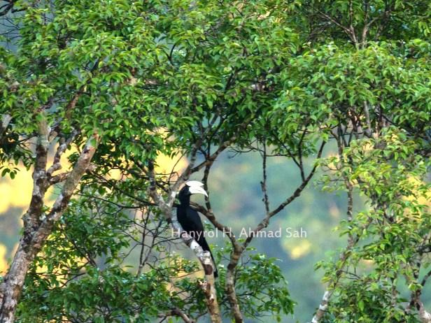 Black Hornbill IMG_0068 - Copy - Copy.jpg