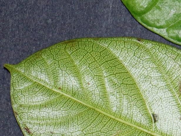 Densechini Leaf description IMG_0893 - Copy.JPG