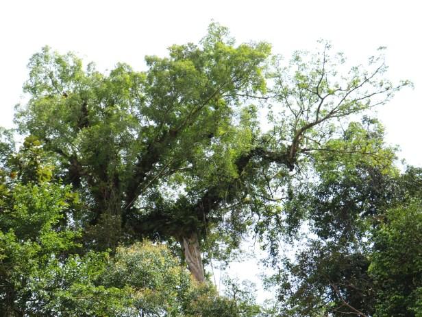 Ficus borneoensis IMG_0405.JPG