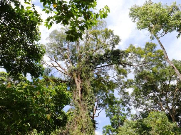Ficus caulocarpa IMG_0394.JPG