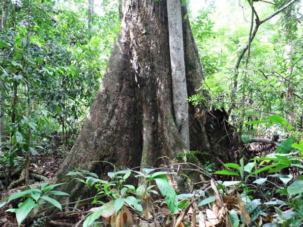 Ficus cucurbitina IMG_0432