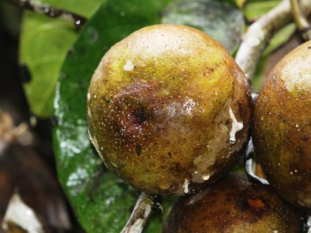 Ficus densechini Sayap 03 .JPG