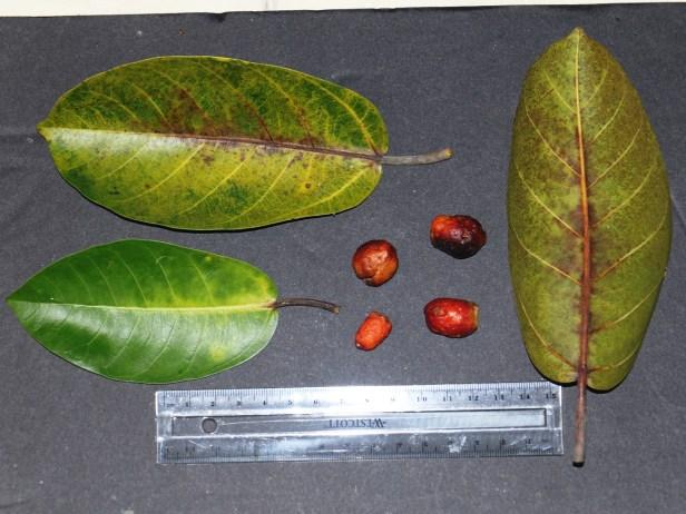 Ficus drupacea Rasa Ria 05.JPG