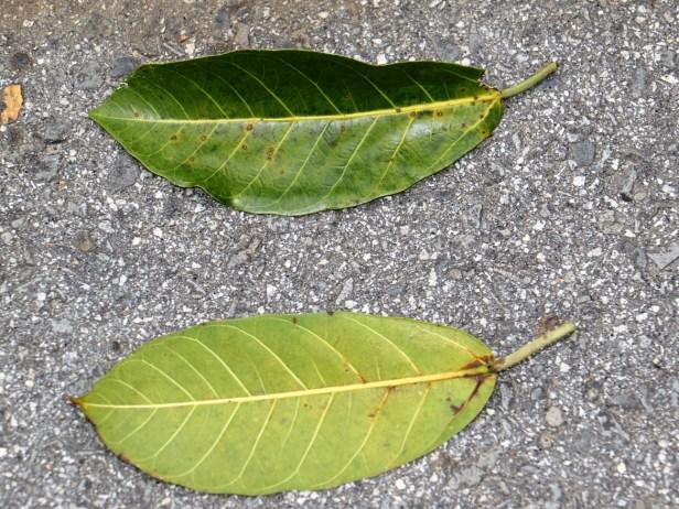 Ficus drupacea Rasa Ria resort IMG_0365.JPG