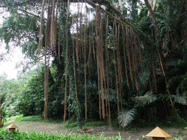 Ficus drupaceae Rasa Ria 04.JPG