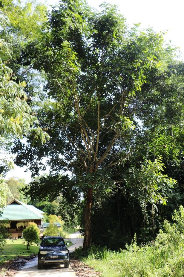 Ficus forstenii 07 3Y3A2534.JPG