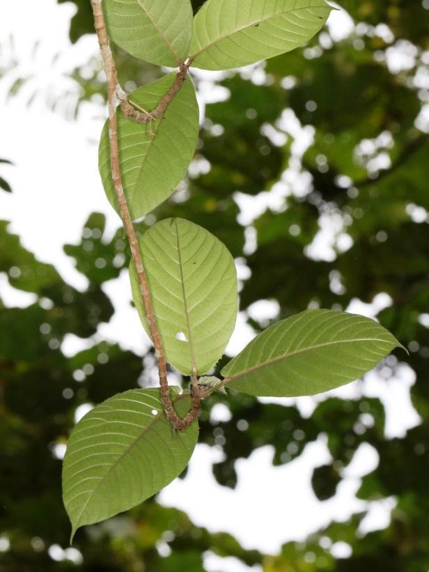 Ficus francisci  Berdanu 01 3Y3A0229.JPG