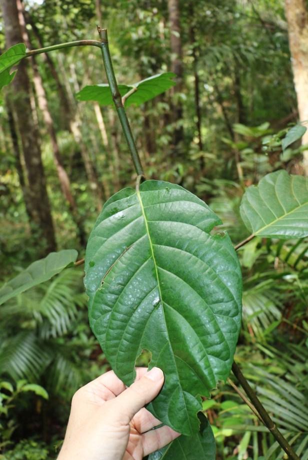 Ficus grossularioides Bako IMG_2747