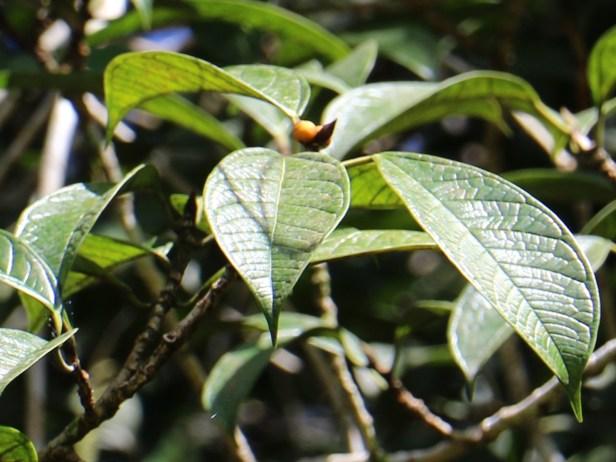 Ficus kochummeniana 03 IMG_2185