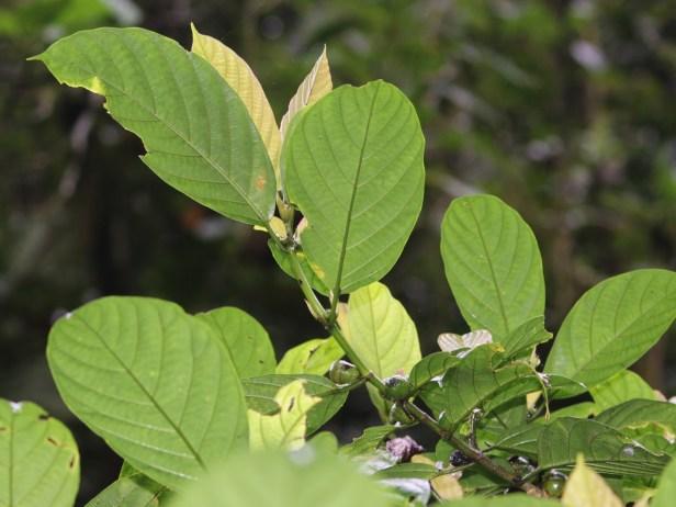 Ficus lepicarpa 3Y3A4440.JPG