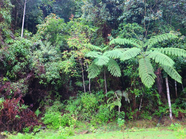 Ficus macilenta 04 IMG_0693.JPG