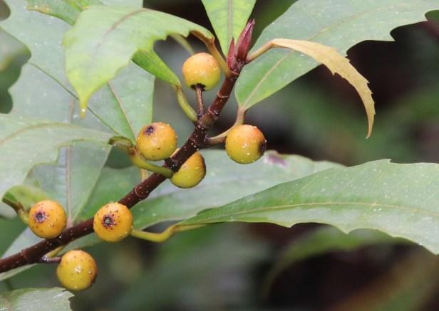 Ficus macilenta 3Y3A4365