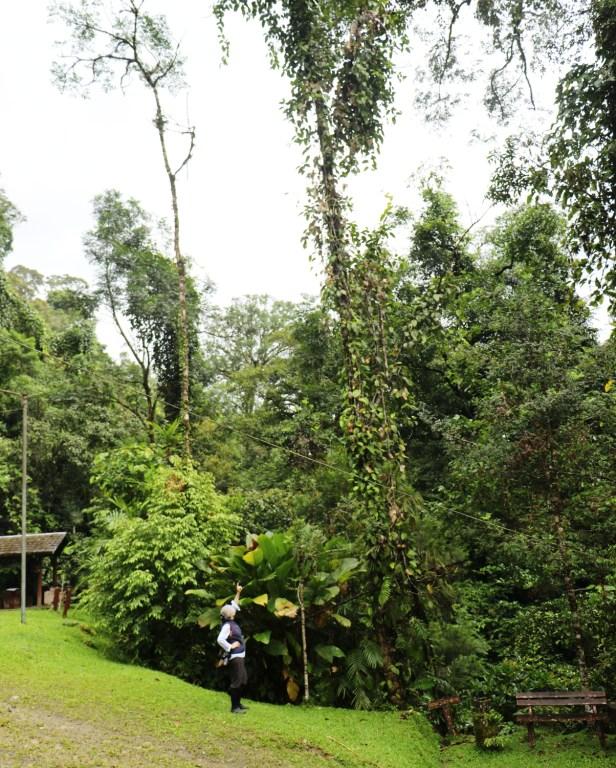 Ficus rubrocuspidata IMG_0847