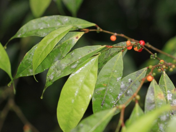 Ficus rubrocuspidata IMG_5027.JPG
