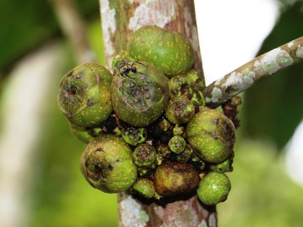 Ficus satterthwaitei 01 IMG_0022.JPG