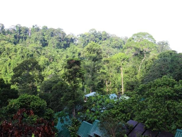 Ficus stupenda 0 4 IMG_1339.JPG