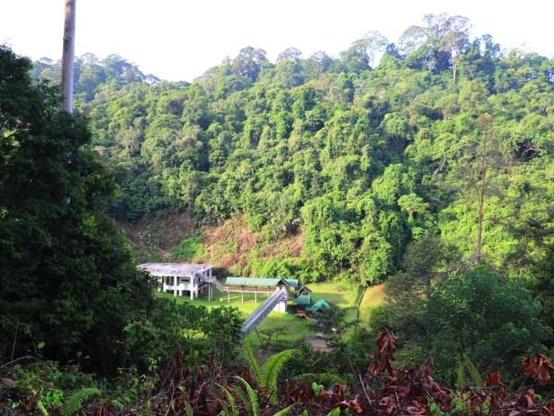 Ficus stupenda 03 IMG_1330.JPG
