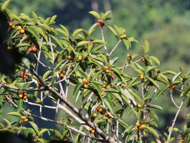 Ficus stupenda BCW IMG_0700