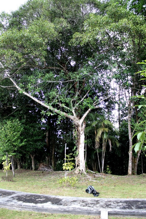 Ficus subcordata 0C7A3295 - Copy.JPG