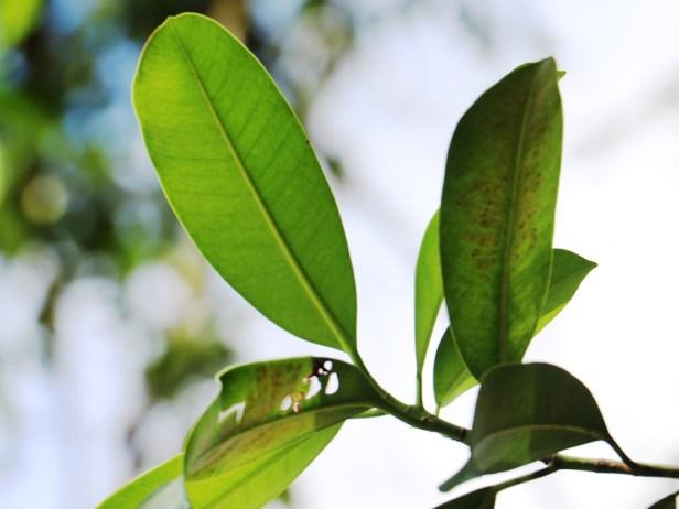 Ficus subcordata IMG_2205.JPG
