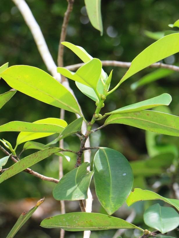 Ficus subcordata IMG_2215