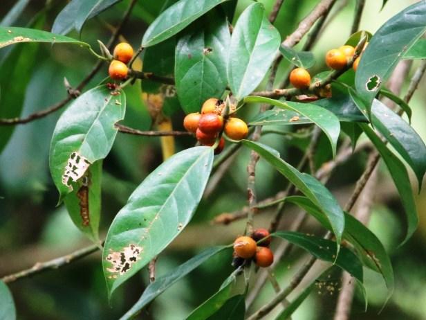Ficus subgelderi IMG_0631