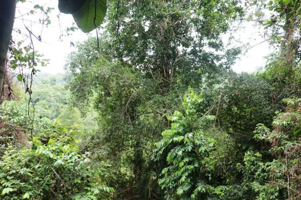 Fig Tree IMG_1082.JPG