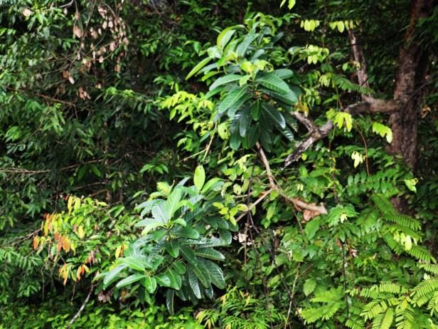 Ficus callosa 3Y3A1712.JPG