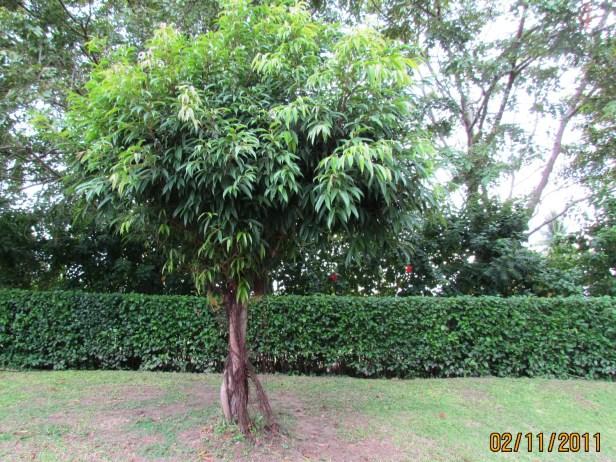 Ficus celebensis IMG_8233.JPG
