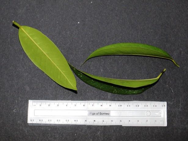Ficus celebensis TAP IMG_1199.JPG