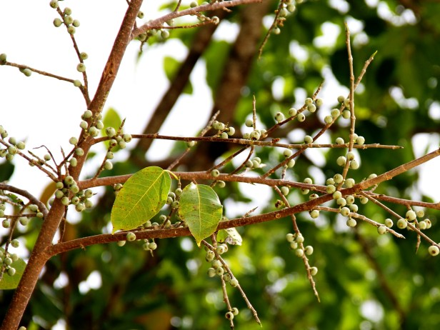 Ficus concinna IMG_7808.jpg