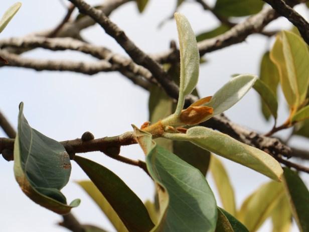 Ficus consociata IMG_0270.JPG