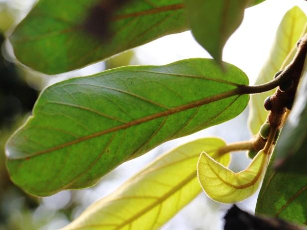 Ficus consociata IMG_0272.JPG