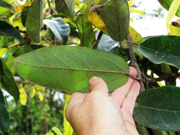 Ficus consociata IMG_0286.JPG